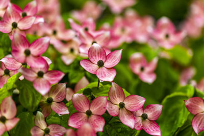 dogwood flower 400 - Seasonal Gardening Tips