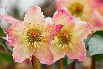 hellebore 400 - Seasonal Gardening Tips