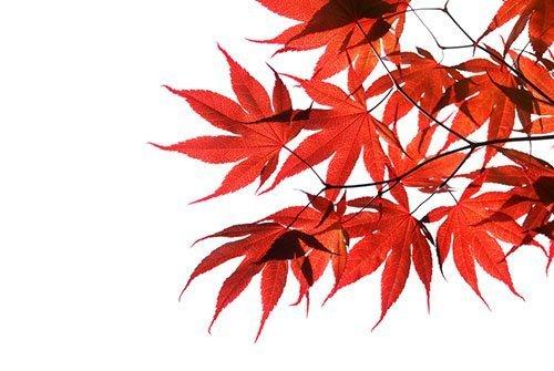 japanese maple 500 - Seasonal Gardening Tips