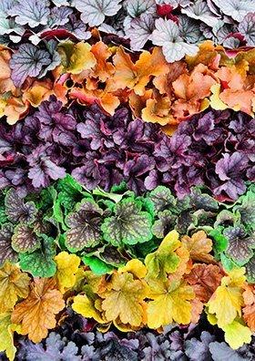 Heuchera garsons 390 - Seasonal Gardening Tips