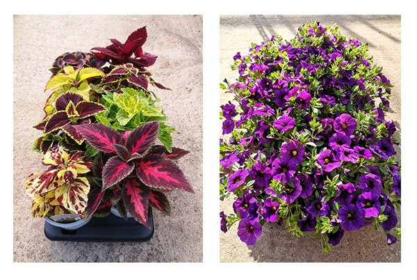bedding plants 600 - Woodlark Nurseries - Bedding Plants and Hanging Baskets