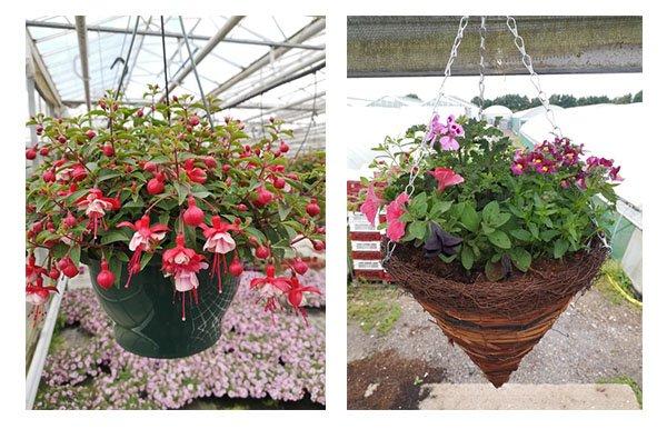 hanging baskets 600 - Woodlark Nurseries - Bedding Plants and Hanging Baskets