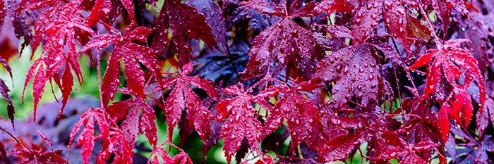 red acer 700 - Seasonal Gardening Tips